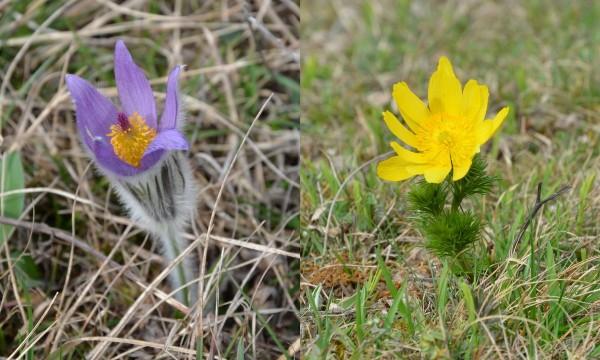 Symposion Lindabrunn, Pulsatilla grandis und Adonis vernalis