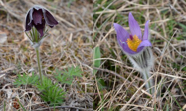 Symposion Lindabrunn, Pulsatilla pratensis ssp. nigricans und Pulsatilla grandis